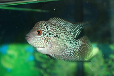 Ikan Louhan Cencu