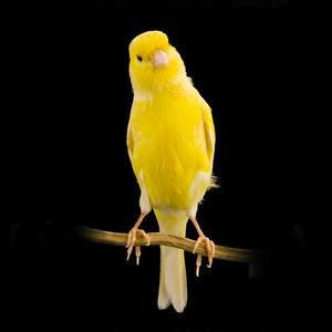 Suara burung kenari waterslager