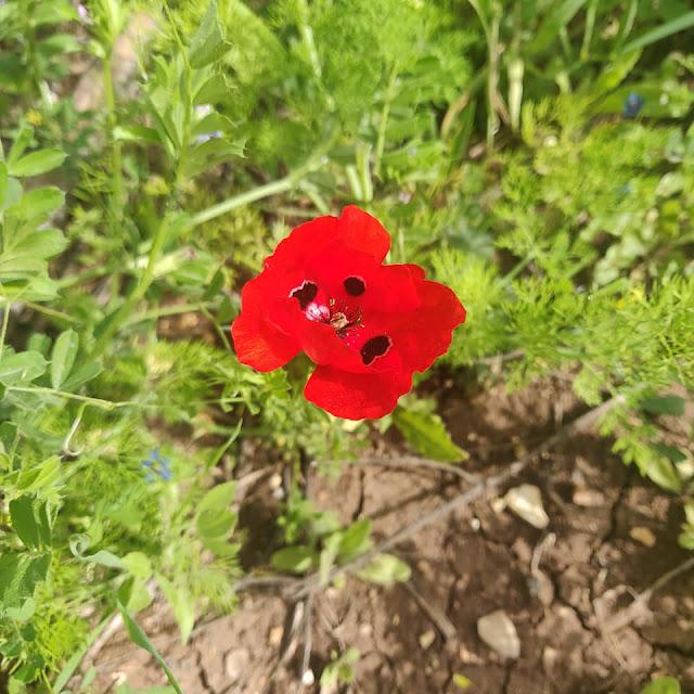 פרח פרג אדום