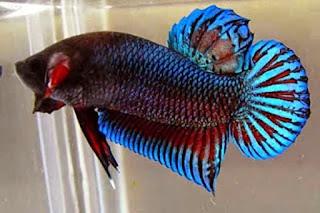 Jangan Salah Pilih, Inilah Perbedaan Ikan Cupang Hias dan Aduan