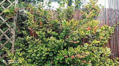 Trzmielina w ogrodzie - inspiracje, zdjęcia