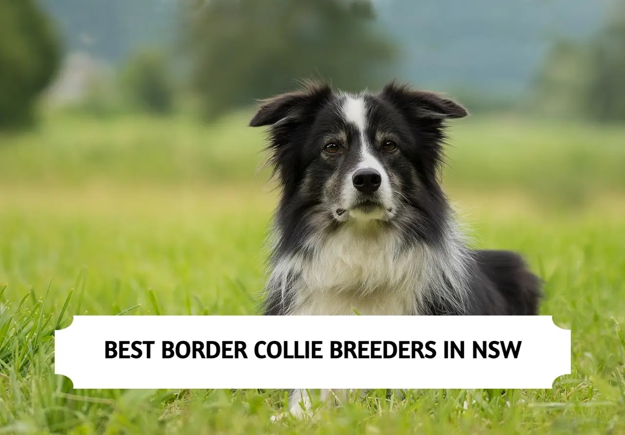 Best Border Collie Breeders in NSW