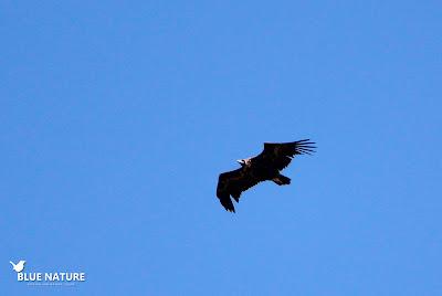 Las colonias de buitre negro (Aegypius monachus) decoran las laderas y el cielo de la Sierra de Guadarrama.