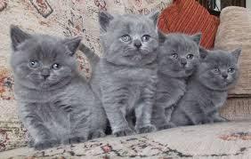 British shorthair maine coon mix Personality, Size, Adoption, Lifespan, Price