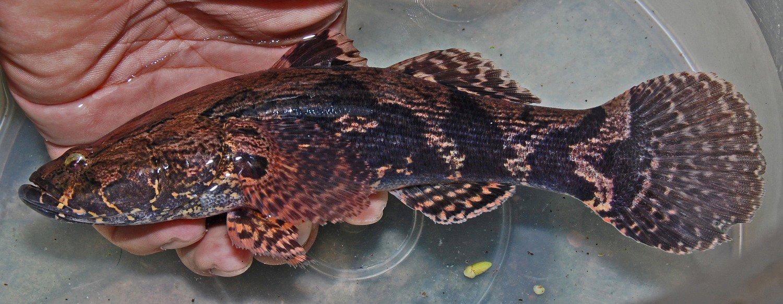 Goby Ketutu