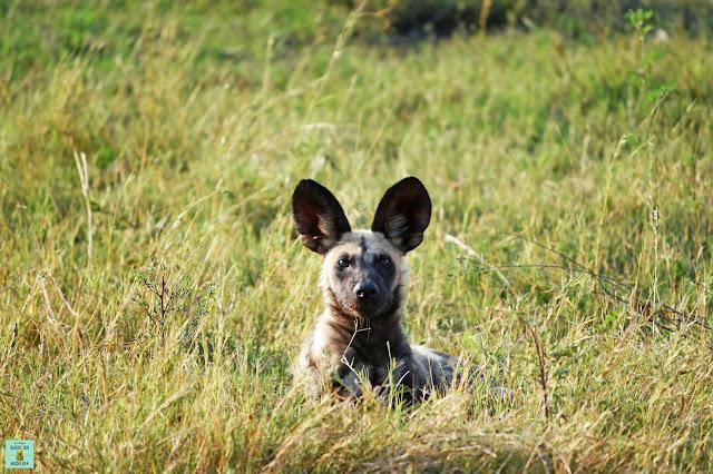 Wild dog en la Reserva de Moremi de Botswana