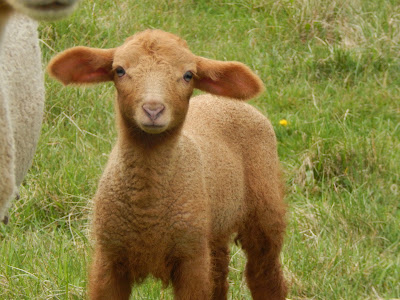 Pasture Happenings, We have lambs, shared by Mitten State Sheep and Wool at The Chicken Chick's Clever Chicks Blog Hop