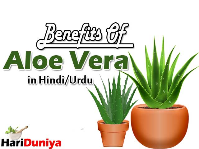 Benefits Of Aloe Vera in Hindi/Urdu | Aloe Vera Ke Fayde hindi/urdu main