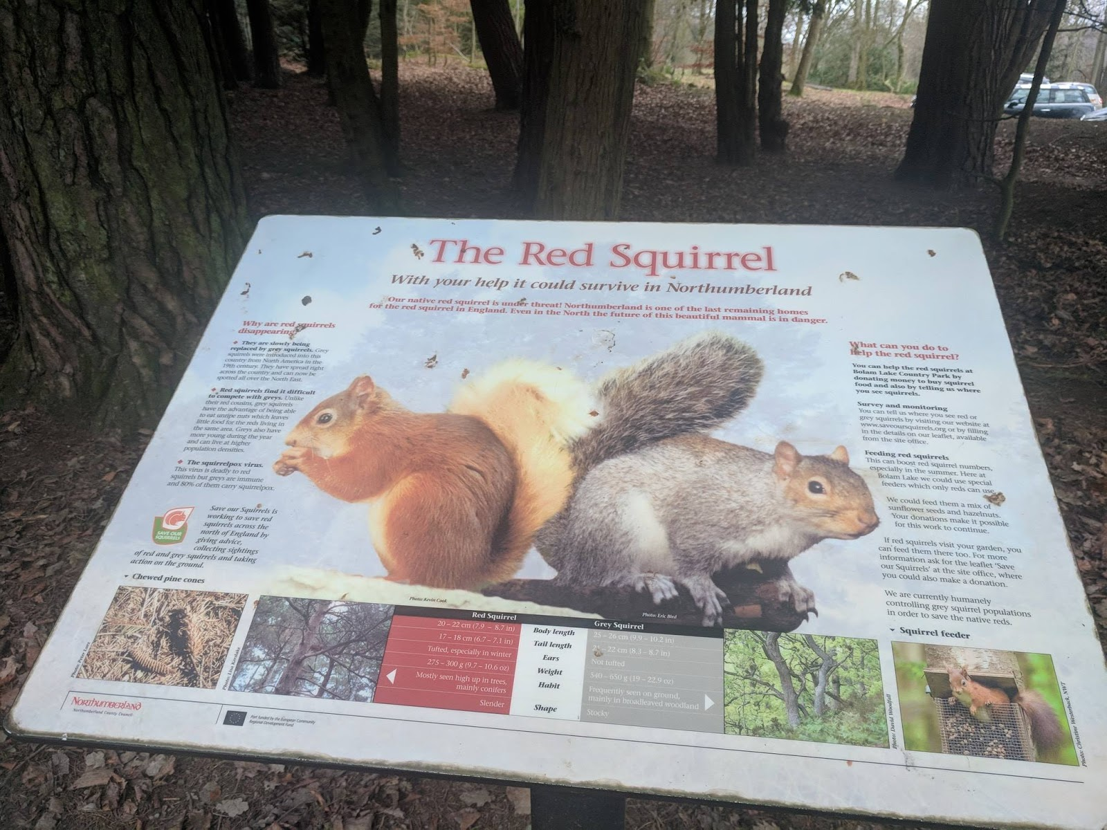 A Guide to Visiting Bolam Lake, Northumberland  - red squirrel information
