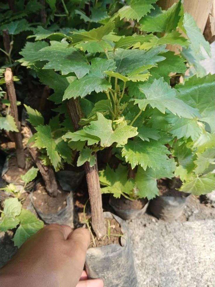 bibit buah anggur paket isi 3 bonus murbei Jawa Timur