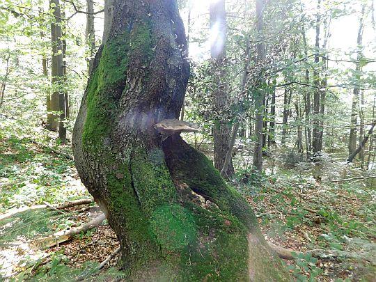 Mijamy dziwacznie poskręcane drzewo z uczepioną hubą.