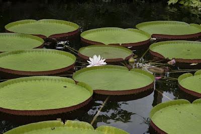 Folhas-da-Vitoria-régia-e-sua-bela-flor