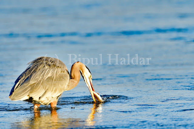 Great Blue Heron Fishing - Second