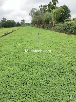 Chuyên cung cáp rau má lá nhỏ phục vụ ngành sấy nghiền bột số lượng lớn
