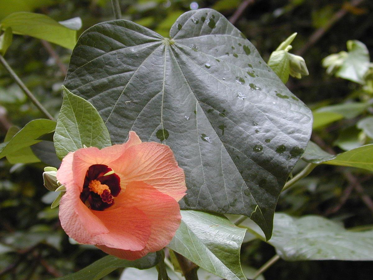Coffs Harbour Garden Club Hibiscus