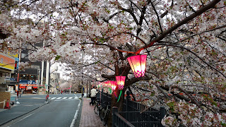 Oka River Promenade cherry blossom