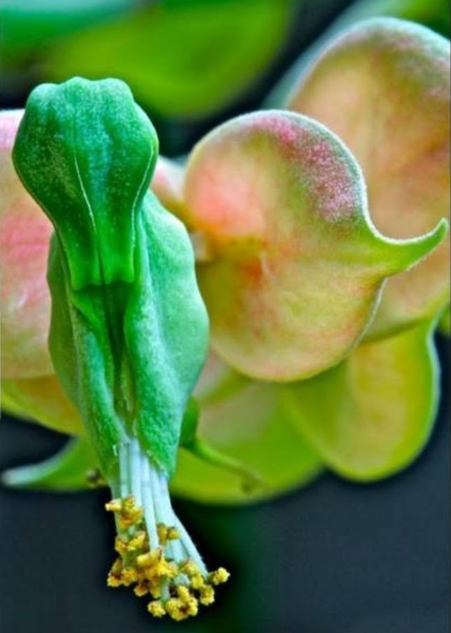 Tanaman hias bunga Cucak Rowo Pontianak