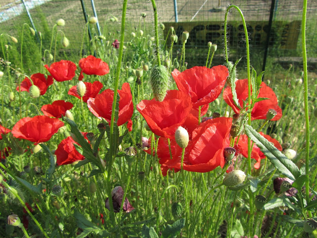 Papaver rhoeas flowers