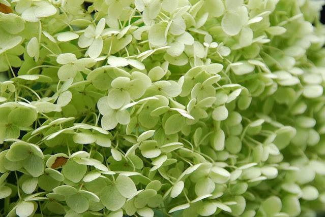 Hortensia Annabelle groen verkleurd