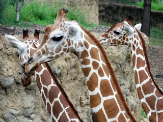a trio of giraffe heads at the Henry Doorly Zoo in Omaha, Nebraska