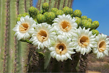 Close-up of white and yellow saguaro flowers, with green buds behind them.