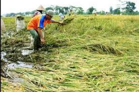Gagal Panen,300 Hektare Sawah di Karawang Klaim Asuransi