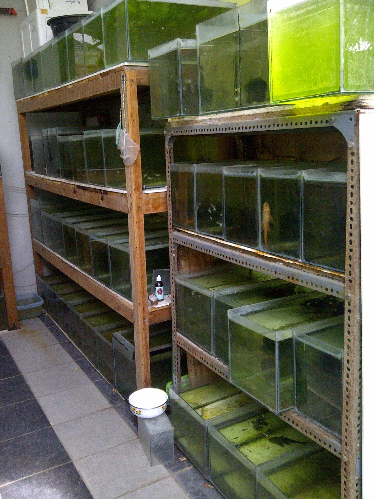 27 Konsep Terkini Model Rak Ikan Cupang