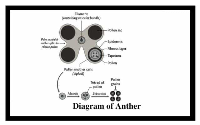 Diagram of Anther