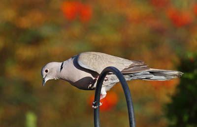 Photo of Eurasian Collared-Dove on shepherds hook