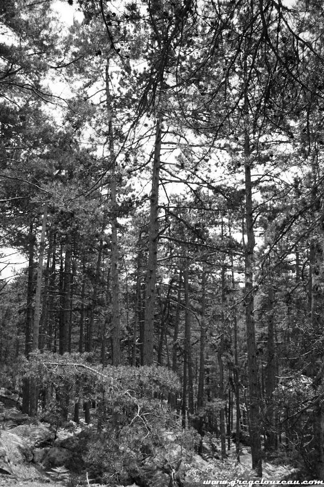 Pins, Dame Jeannne d'Avon, Fontainebleau, (C) 2014 Greg Clouzeau