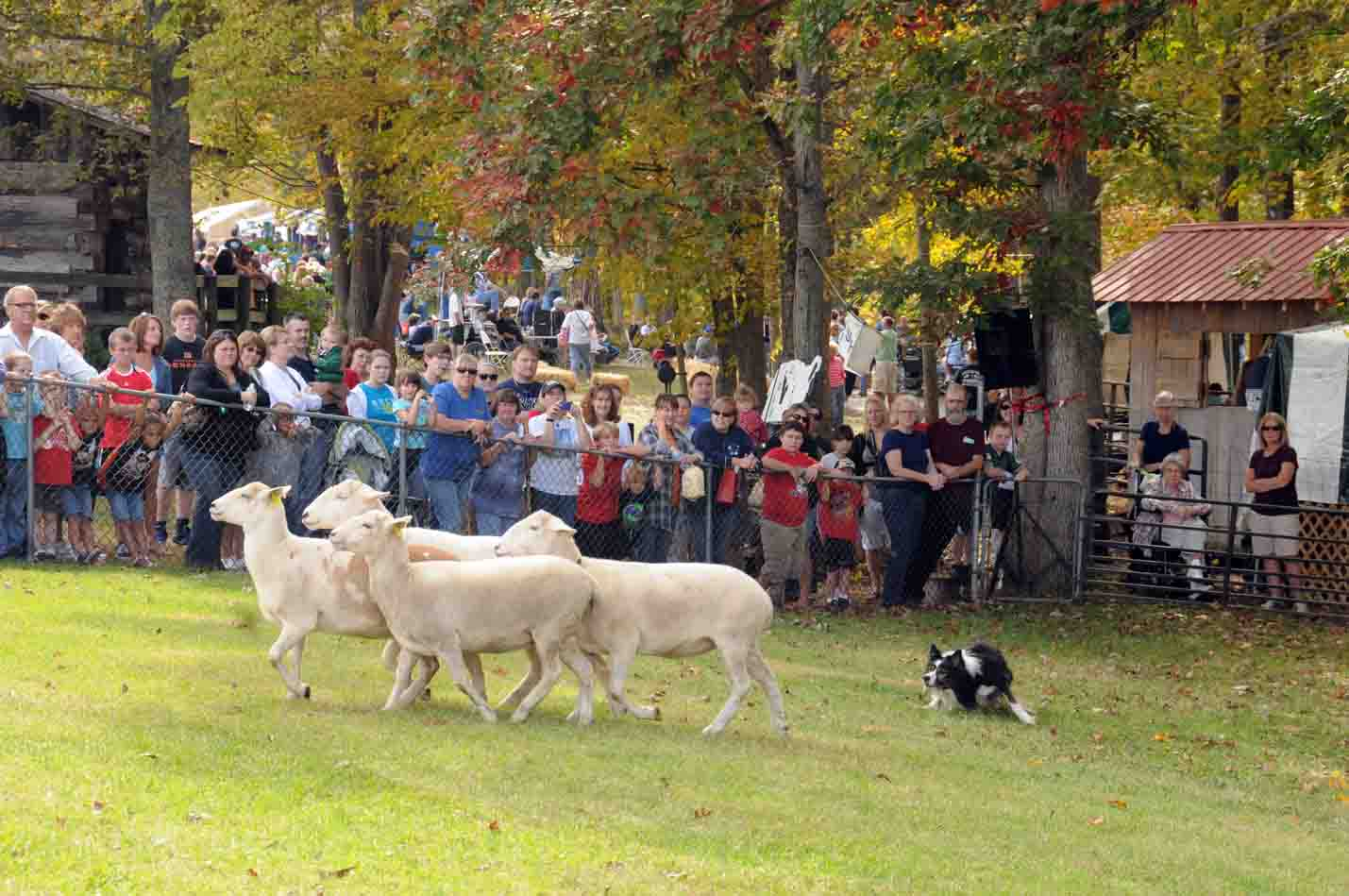Ky Wool Festival Sheep and Wool Tent: The Sheep Dog Demonstrations