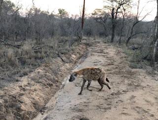 ugliest hyena in Africa