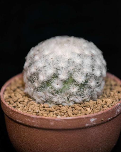 Kaktus Bulu