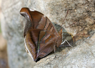 Mariposa orión (Historis odius)