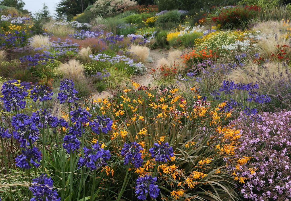 Flores de agapantus color azul marino con otras vivaces en jardín naturalista