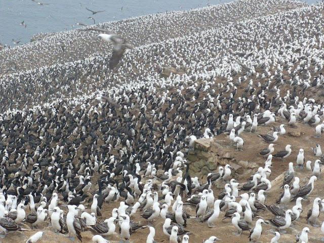 Colonia de aves Guano de las Islas
