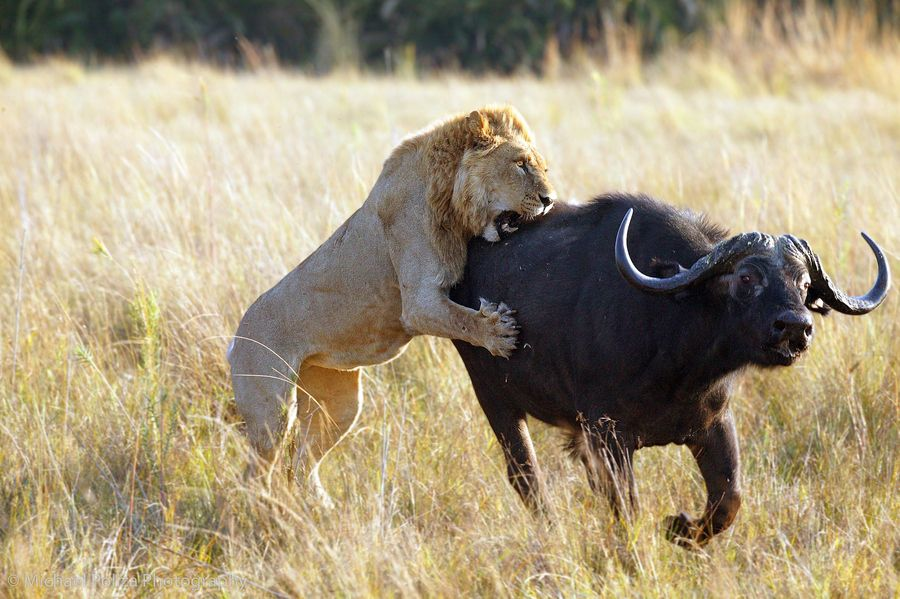 Lion with Wildebeest