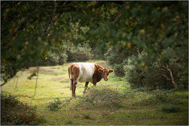 beautiful new forest cow