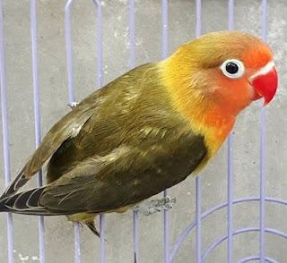 lovebird over birahi