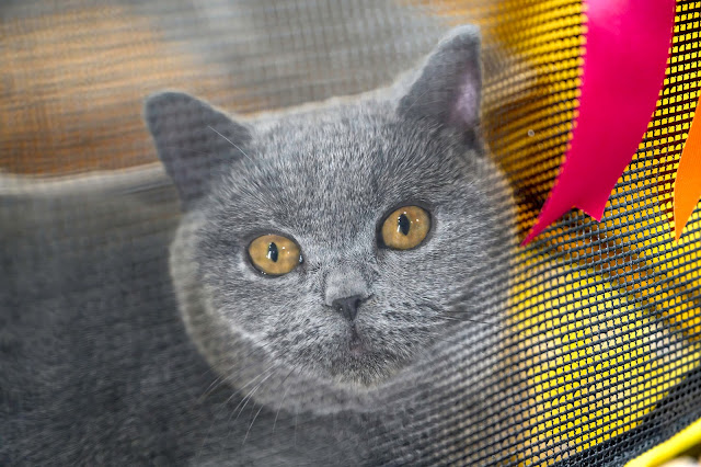 British Shorthair at It's TICA Time Cat Show