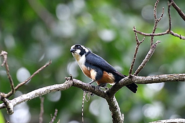 Black-Thighed Falconet Awana Genting