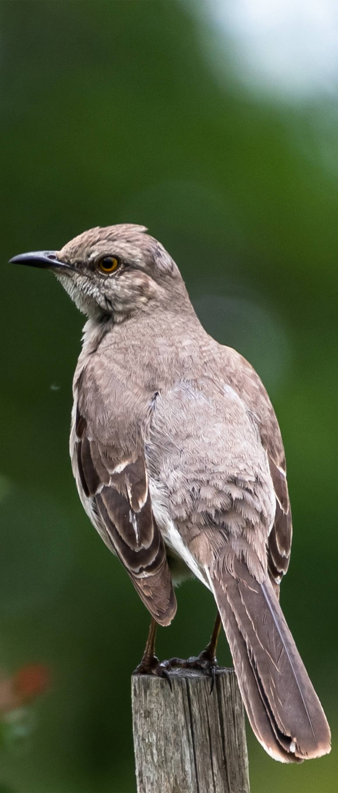 Picture of a mockingbird.