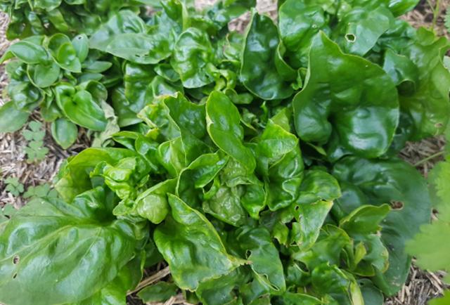 Sayur Bayam Brazil | Cara Penanaman Dan Khasiatnya