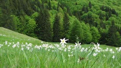 Poiana Cu Narcise Rovina
