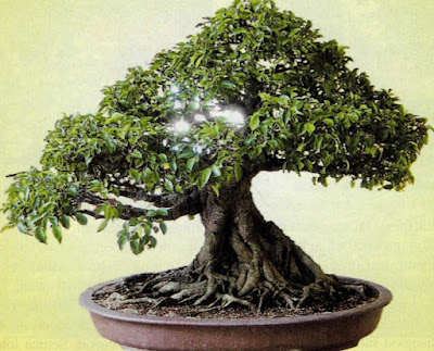 Pehobiis Bonsai
