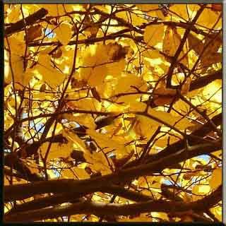 kayın ağacı meşe ağacı gürgen ağacı özellikleri  yaprak çiçek ağaç güzel çirkin