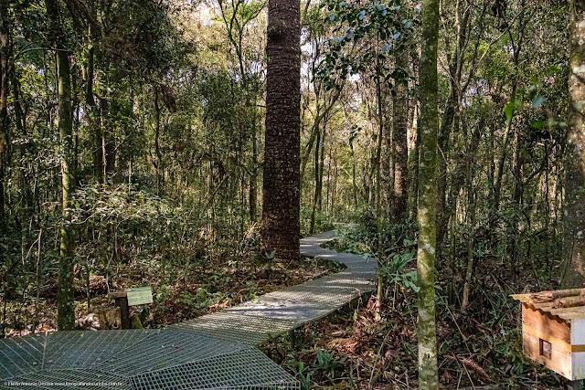 Caminho das araucárias, no Capão da Imbuia