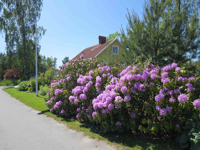 Parkrododendron, Parkrhododendron, Rhododendron 'Grandiflorum'
