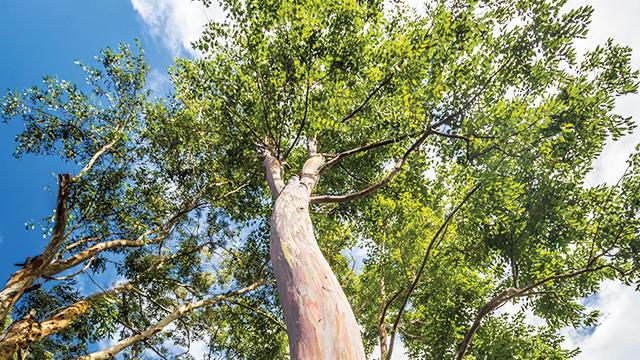 Pakar Unair Minta Riset Minyak Eukaliptus untuk Corona Tuntas