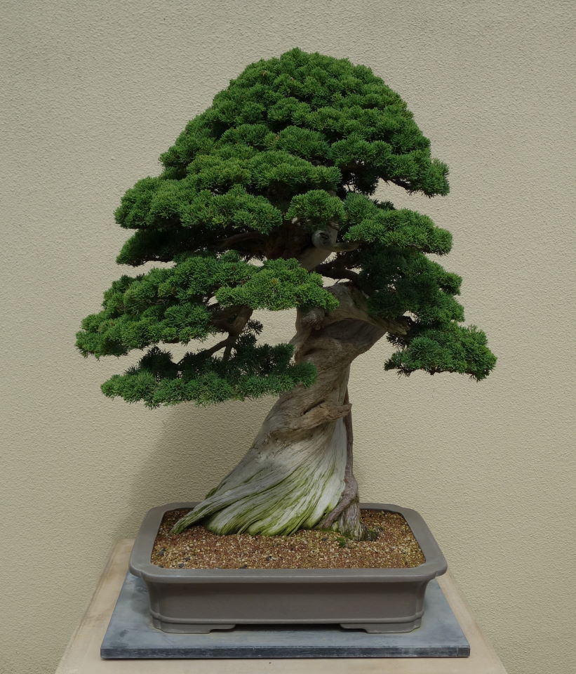 John39s Island Bonsai Chinese Juniper On Sierra Juniper